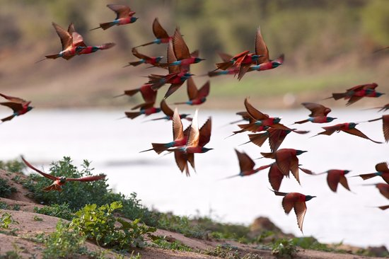 Ciad: Northern Carmine Bee-eaters