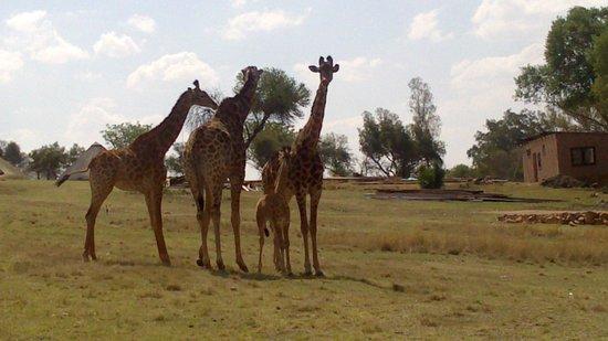 Heia Safari Ranch: Giraffe family