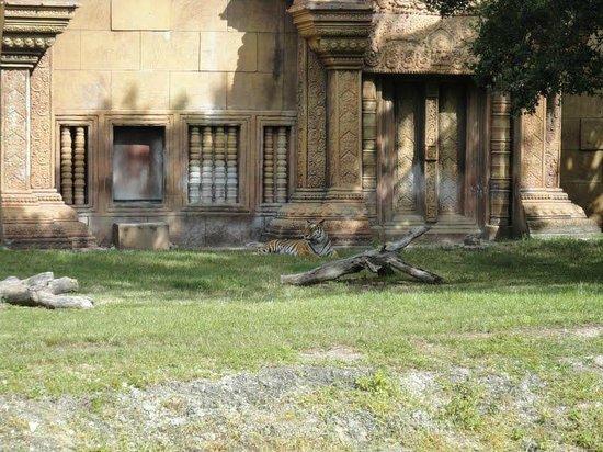 Zoo Miami: Tigre de bengala