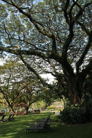 Shangri-La's Rasa Sayang Resort & Spa : The beautiful, massive trees