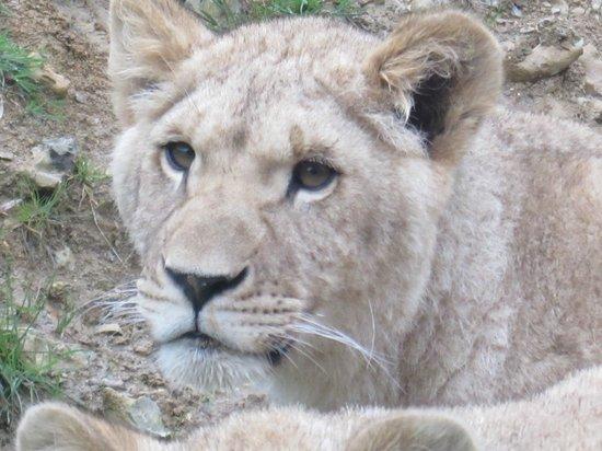 Parc Zoologique Cerza : Jeune lionne (née en 2013)