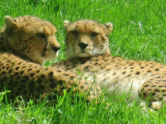Parc Zoologique Cerza : Guépards