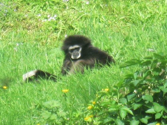 Parc Zoologique Cerza : Gibbon