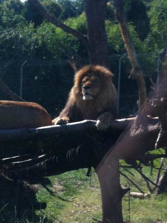 Parc Zoologique Cerza : Lion (photo de 2013)