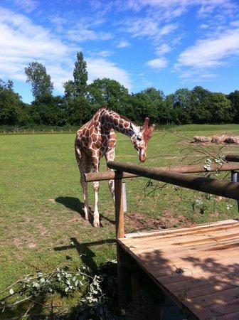 Parc Zoologique Cerza : Girafe dans la plaine africaine (photo de 2013)