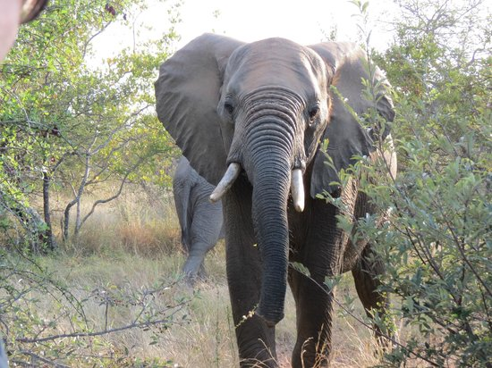 Naledi Game Lodges: Elefante grande