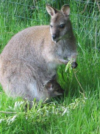 Cerza Safari Lodge : Wallaby avec petit en liberté