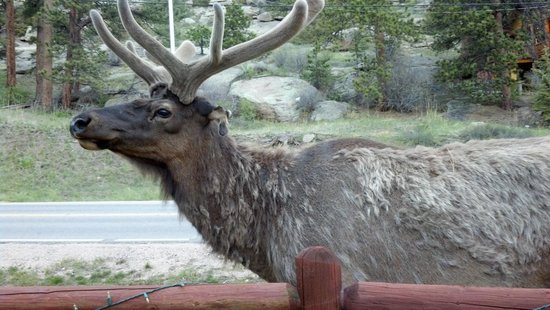 Pine Haven Resort: Elk eating in front of resort
