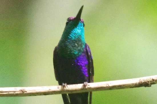 Rancho Naturalista: Purple Crowned Wood-nymph at the feeders