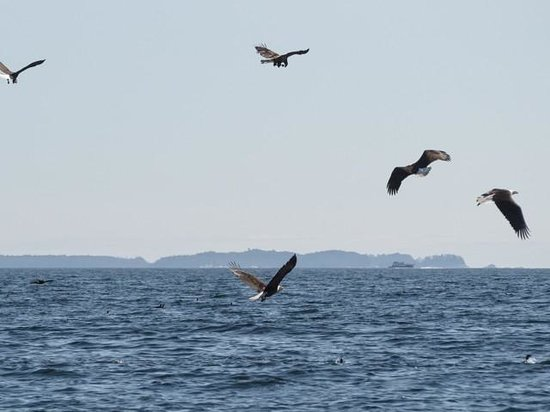 Gallant Adventures: Eagles feeding on fish in Sitka Sound