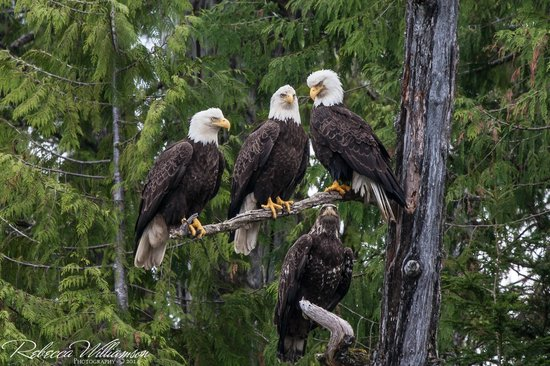 Ketchikan, AK: There were more eagles than I have ever seen!