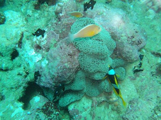 Chirongui, Mayotte: Anémone très habitée du Récif SAZILEY