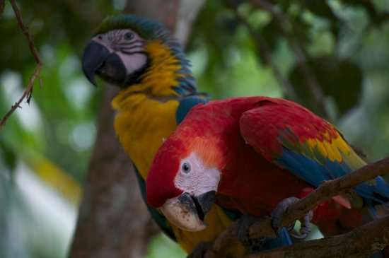 Otorongo Expeditions Jungle Lodge : Macaws