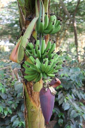 Tloma Mountain Lodge, Tanganyika Wilderness Camps: Lots of fresh fruits and veggies, including bananas!