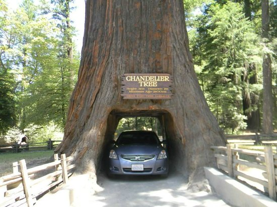 My car through the chandelier tree picture of chandelier drive chandelier drive through tree my car through the chandelier tree mozeypictures Image collections
