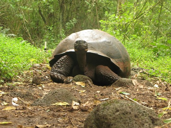 Finch Bay Eco Hotel : Giant Tortoises on Highlands Tour