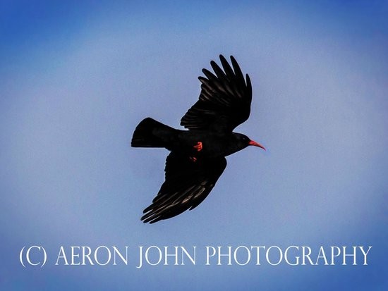 Pembrokeshire Photo Walks: Chough
