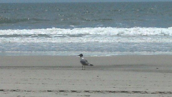 Monterey Resort : Seagull on the beach