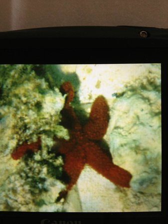The Cove Eleuthera : Starfish seen while snorkeling