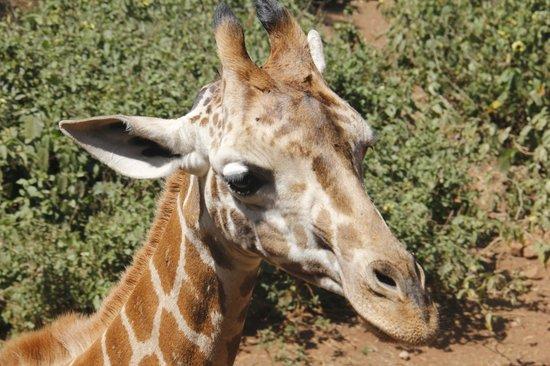 Giraffe centre