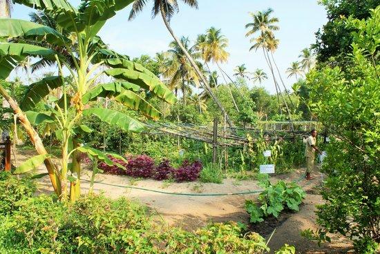 Abad Turtle Beach : The well kept kitchen garden