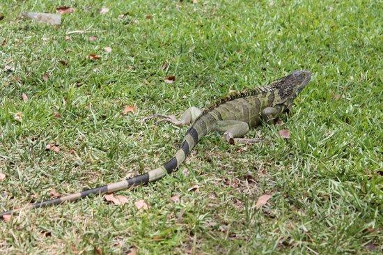 Hampton Inn Key Largo: one of the small iguana