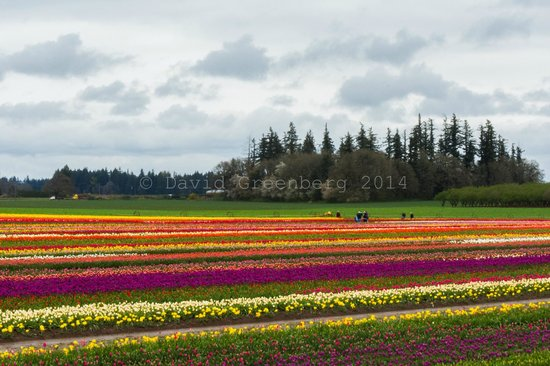 Wooden Shoe Tulip Farm: An array of different colored tulips!