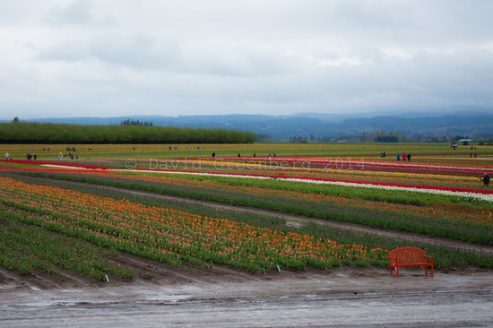 Wooden Shoe Tulip Farm : More tulips