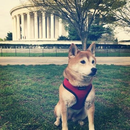 Tidal Basin: The Shiba Inu at the Jefferson Memorial