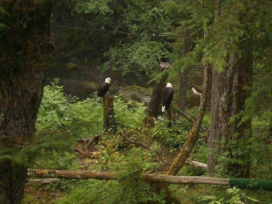 Alaska Raptor Center : The Bald Eagle