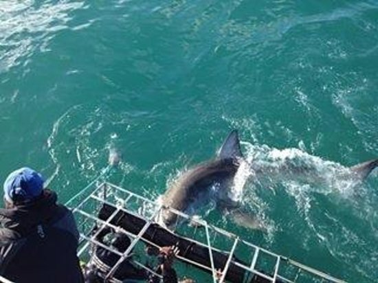 Shark Cage Diving South Africa: Shark