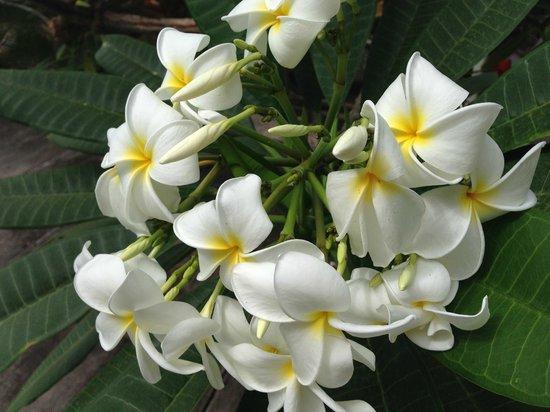 Frangipani Apartments Curacao: Flora im Poolbereich