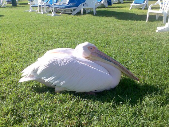 Amathus Beach Hotel Limassol: Regular visitor stops over often for a rest he lives locally