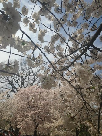 National Mall : Cherry blossom