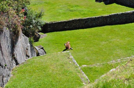 Santuario Histórico de Machu Picchu: Algunos sitios para cultivo y cria de animales que los Incas utilizaban en el Machu Pichu