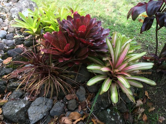 Napili Surf Beach Resort : Some of the plants on the grouds