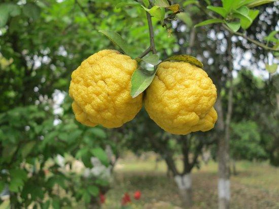 WelcomHeritage Judge's Court: lemons