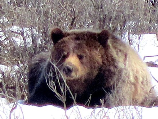 Grizzly Country Wildlife Adventures : Grizzly in Hayden Valley