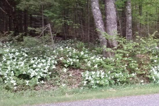 Pictured Rocks National Lakeshore: carpets of trilliums