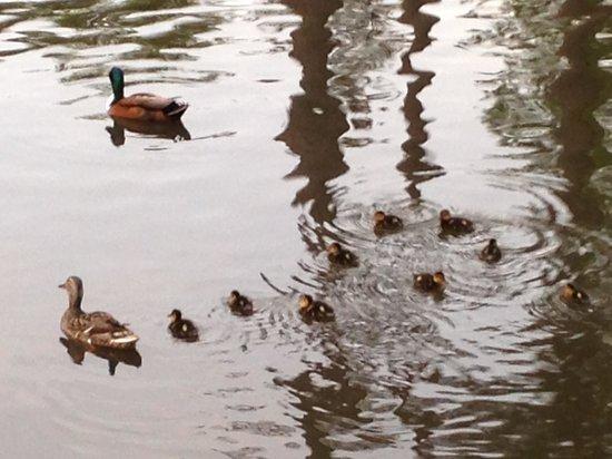 Sarah P. Duke Gardens: Baby ducks swimming