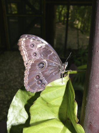 Chaa Creek Natural History Museum: Adult morpho butterfly