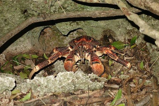 Chumbe Island Coral Park: Coconut Crabs!