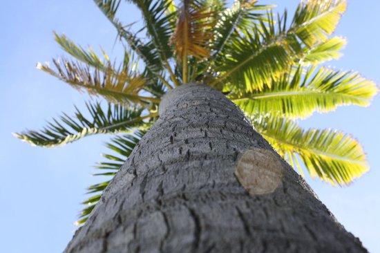 Matamanoa Island Resort : coconut tree