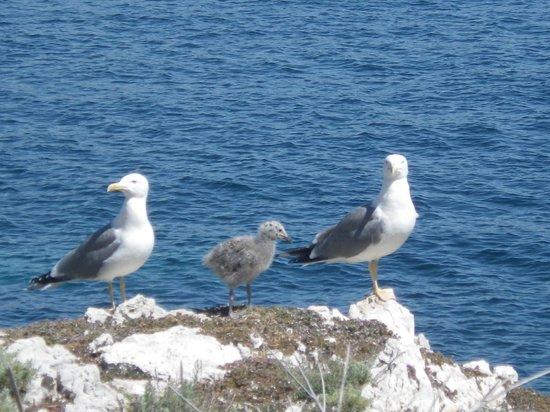 Îles de Lérins : Un couple de goéland et leur petit