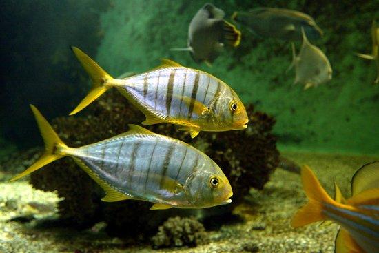 Aquarium de Vannes : Carangues