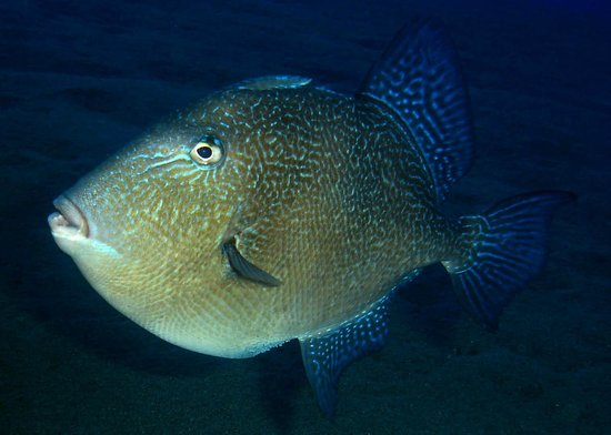 Aquasport Diving: Grey Triggerfish