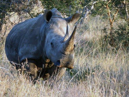 Three Cities Madikwe River Lodge : Rhino