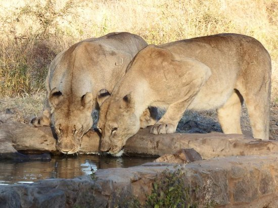 Three Cities Madikwe River Lodge: Lions drinking