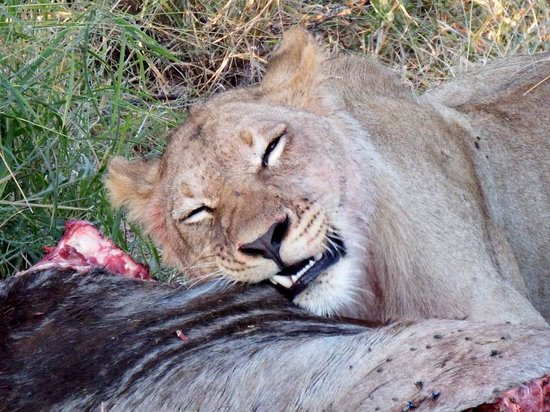 Three Cities Madikwe River Lodge: Lion eating