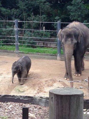 Melbourne Zoo: Super cute baby elephant
